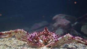 Stor krabba på botten av akvariet lager videofilmer