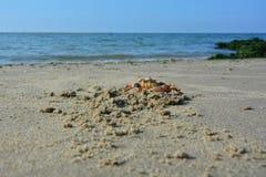 Stor krabba på den sandiga stranden för havsvåg Royaltyfri Foto