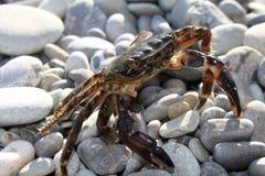 Stor krabba på strandnärbild Royaltyfri Bild