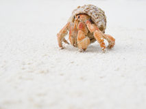 stor krabbaensling Arkivfoto