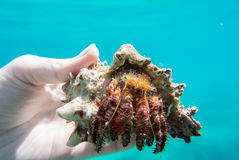 stor krabbaensling Arkivbild