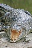 stor krokodil Royaltyfria Bilder