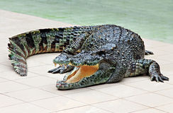 Stor krokodil Arkivfoto