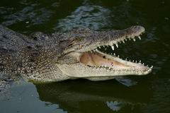 Stor krokodil Royaltyfri Foto