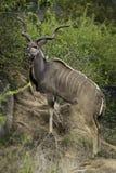 stor kudu Arkivfoton