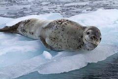 Stor kvinnlig leopardskyddsremsa som ligger på is Arkivfoton