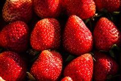 Stor läcker söt smak för nytt jordgubbebär Royaltyfria Foton