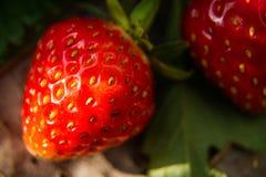 Stor läcker söt smak för nytt jordgubbebär Royaltyfri Foto