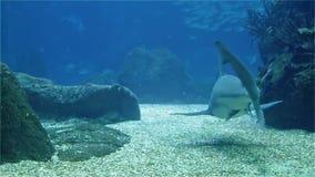 Stor läskig hajnärbild En variation av den tropiska fisken över en korallrev lager videofilmer