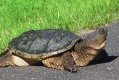 Stor låsande fast sköldpadda Arkivfoto