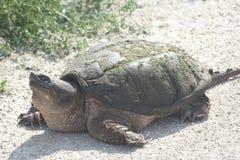 Stor låsande fast sköldpadda Fotografering för Bildbyråer