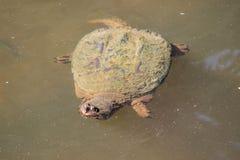 Stor låsande fast sköldpadda i dammet Arkivfoto