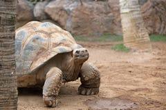 Stor landsköldpadda Arkivbilder