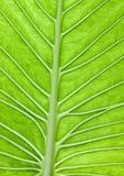 Stor Leaf Royaltyfria Bilder