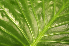stor leafstruktur Royaltyfria Foton