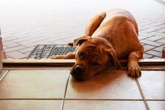 Stor ledsen röd hund som ligger på tröskeln av ingångsdörren Arkivbild