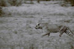 Stor leopard arkivbild