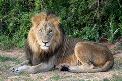 stor lionmanlig Arkivbild
