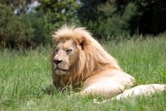 stor lionmanlig Arkivfoto