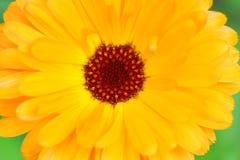 stor ljus blomma Arkivbild
