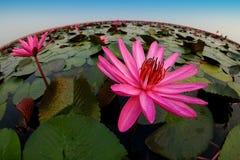 Stor lotusblomma Fotografering för Bildbyråer
