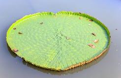 Stor lotusblommaleaf Royaltyfria Bilder
