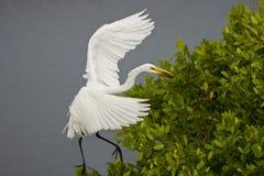 stor lunch för egretfisk Arkivbild