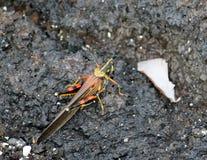 Stor målad gräshoppa (Galapagos, Ecuador) Arkivbild