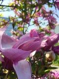 Stor magnoliablomma Royaltyfri Bild