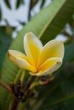 Stor magnoliablomma med sidor Arkivbild