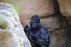 Stor Male gorilla Arkivbilder