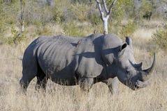 stor male noshörningwhite Arkivfoto