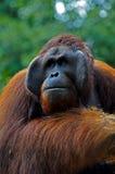 stor male orangutan Arkivbild