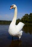 stor male stum swan royaltyfri fotografi