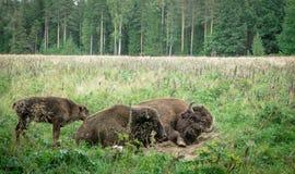 Stor man och gröngöling av den amerikanska bisonen i nationalparken royaltyfri foto