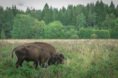 Stor man och gröngöling av den amerikanska bisonen i nationalparken royaltyfria foton