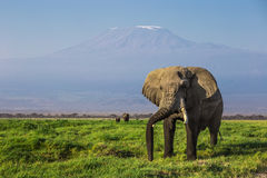 Stor manlig afrikansk elefant med Mountet Kilimanjaro i bakgrunden i den Amboseli nationalparken (Kenya) royaltyfria bilder