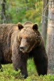 Stor manlig björn Arkivfoton