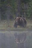 Stor manlig björn i myren Fotografering för Bildbyråer