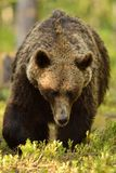 Stor manlig brunbjörn Arkivbilder