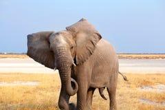 Stor manlig elefant med långt stamslut upp i den Etosha nationalparken, Namibia, sydliga Afrika fotografering för bildbyråer