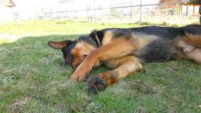 Stor manlig hund som lägger på gräset stock video