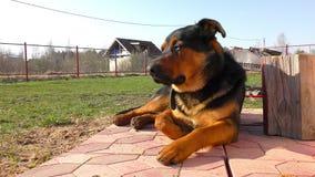 Stor manlig hund som lägger på gräset lager videofilmer