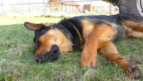 Stor manlig hund som lägger på gräset arkivfilmer