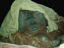 Stor manlig orangutang Royaltyfria Bilder
