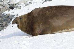 Stor manlig sydlig elefantskyddsremsa som kröp till och med snön t Arkivfoton