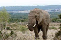 Stor manlig tjur - afrikanBush elefant Royaltyfria Bilder