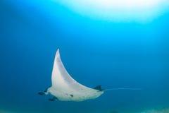 Stor Manta Ray i blått vatten Royaltyfri Fotografi