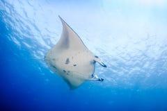 Stor Manta Ray i blått vatten Royaltyfria Foton