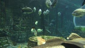 Stor marin- fisk, undervattens- liv stock video